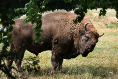 European bison (Bison bonasus). Royalty Free Stock Image