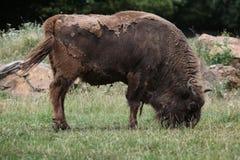 European bison (Bison bonasus). Royalty Free Stock Photo