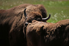 European bison (Bison bonasus). European bison (Bison bonasus), also known as the wisent or the European wood bison. Wild life animal Stock Images