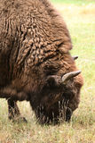 European bison (Bison bonasus). Royalty Free Stock Images