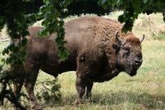European bison (Bison bonasus). Stock Images