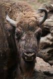 European bison (Bison bonasus). Stock Photo