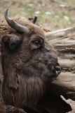 European bison (Bison bonasus). Stock Photography