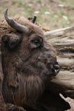 European bison (Bison bonasus). Stock Photography