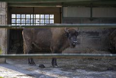 European bison, or Bison bonasus. European bison Bison bonasus behind a fence. In Zagreb Zoo, Croatia Stock Photography