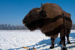 Free European Bison (Bison Bonasus) Eating Corn Cobs Royalty Free Stock Photo - 12785915