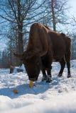 European Bison (Bison bonasus) eating Corn Cobs Stock Photos