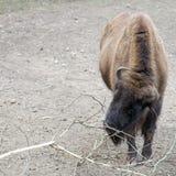 European bison (Bison bonasus Royalty Free Stock Photos
