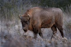 European Bison - Bison bonasus. In the evening in Milovice, Czech republic, Europe Royalty Free Stock Photography