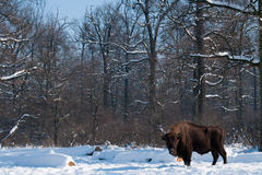 European Bison (Bison bonasus) in forest in Winter Royalty Free Stock Photography