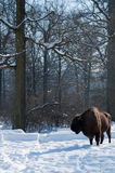 European Bison (Bison bonasus) in forest in Winter Royalty Free Stock Photos