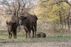 European bison (Bison bonasus) living in autumn deciduous forest Royalty Free Stock Image