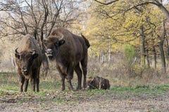 Free European Bison (Bison Bonasus) Living In Autumn Deciduous Forest Royalty Free Stock Image - 35663866