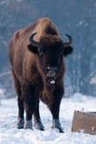 European Bison (Bison bonasus), male Royalty Free Stock Images