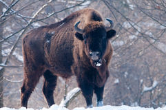 European Bison (Bison bonasus), male Stock Photos