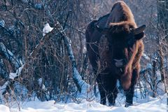European Bison (Bison bonasus), male Royalty Free Stock Photos