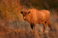 European Bison - Bison bonasus. In Milovice, Czech republic, Europe Stock Photo