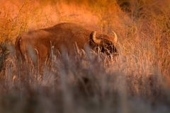 European Bison - Bison bonasus. In Milovice, Czech republic, Europe Royalty Free Stock Photography