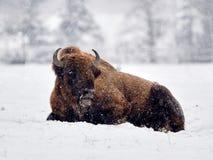 European bison Bison bonasus in natural habitat. In winter royalty free stock images