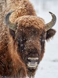 European bison Bison bonasus in natural habitat in winter. Close-up portrait Royalty Free Stock Image