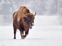 European bison Bison bonasus in natural habitat in winter. Romania stock photo