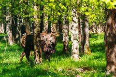 European bison (Bison bonasus) Stock Photo
