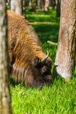 European bison (Bison bonasus) Stock Image