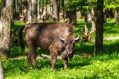European bison (Bison bonasus) Royalty Free Stock Photo