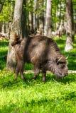 European bison (Bison bonasus) Stock Photos