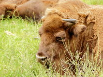 European bison (Bison bonasus) resting portrait Stock Photo