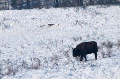 European Bison (Bison bonasus) walking on Snow Stock Photo
