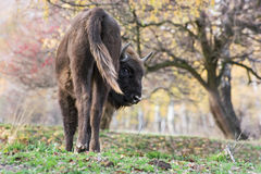 The European bison (Bison bonasus) Stock Image