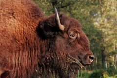 The European Bison Bison bonasus a wild wood ox  is grazing on the sunset. stock images