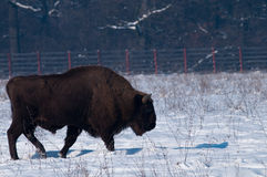 European Bison (Bison bonasus) in winter Stock Photo