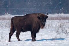 European Bison (Bison bonasus) in winter Stock Photos