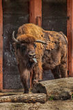 European bison (Bison bonasus) Royalty Free Stock Photography