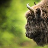 European bison Bison bonasus royalty free stock photo
