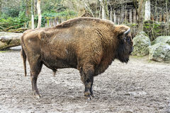 The European bison Royalty Free Stock Images