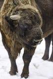 The European bison stock photo