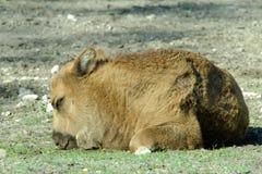 European bison Stock Photography