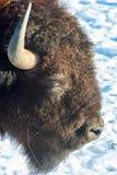 The European bison Bison bonasus. stock photo