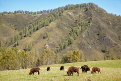 European bison Stock Photos