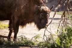 European bison. (Bison bonasus) grazing on Royalty Free Stock Photos