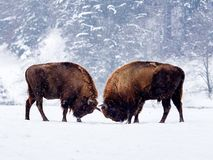 European bison Bison bonasus in natural habitat Royalty Free Stock Images
