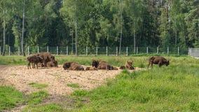 European Bison, Bison bonasus, Visent. stock photography