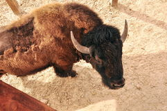 European bison Royalty Free Stock Photography