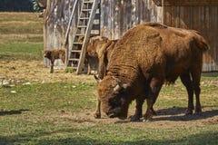 European bison bull and herd Stock Image