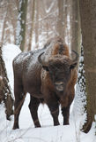 European bison bull in winter Royalty Free Stock Photo