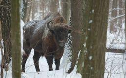 European Bison bull in winter Stock Photos