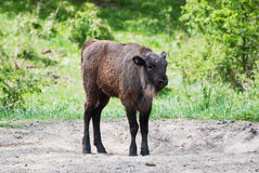 European bison calf Royalty Free Stock Images